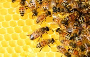 Bienen beim Einlagern des Honigs in die Waben