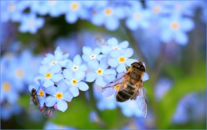 Blütennektar dient als Rohstoff für den Honig